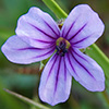 Blue Eyed Grass Wildflower