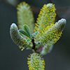 Willow Catkin - Photo by Richard Stewart