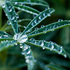 Dew on Wild Bush Lupine - Photo by Richard Stewart