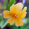 Monkey Flower Wildflower