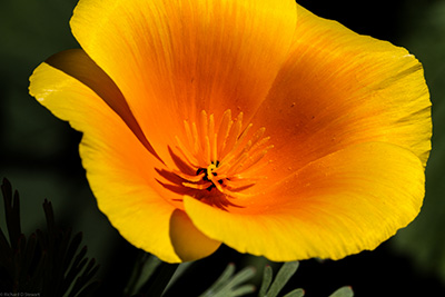 California Poppy - Photo by Richard Stewart