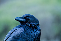 Raven - Photo by Richard Stewart